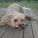 Hundesitter gesucht! Sydney – Coogee Beach