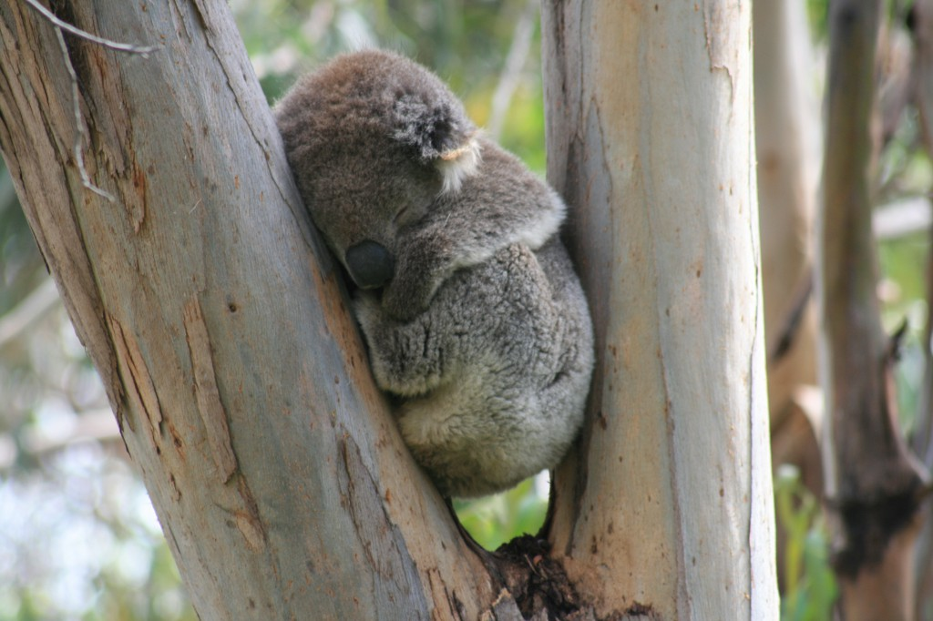 Koala Great Ocean road VIC Australia