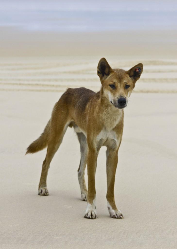 Day 104- On the beach on Fraser Island - Australian Dingo